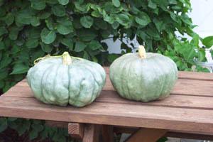 how to grow blue pumpkins