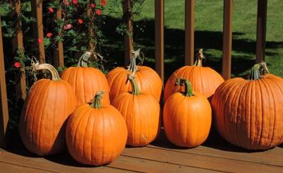 How To Grow Pumpkins Growing Pumpkin