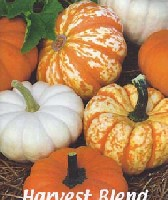 pumpkin nook how to grow miniature jack be little pumpkins jbls