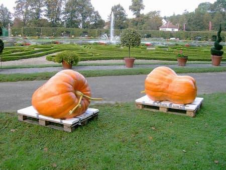 Giant Pumpkin Dill Ring