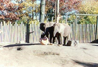 Elephant Pumpkin 09