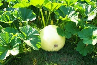 Giant Pumpkin Immature