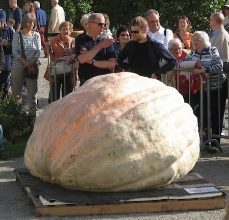 Giant Pumpkin Meier 2323