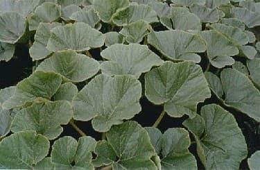 Pumpkin Leaves - Healthy