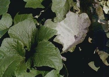 Pumpkin Leaves - Diseased