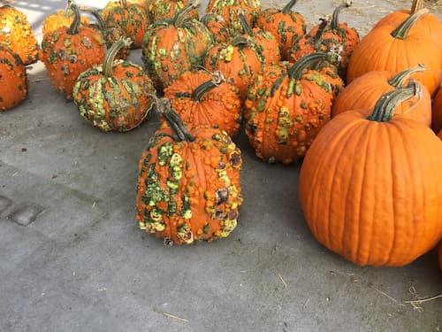 Pumpkins, Peanut
